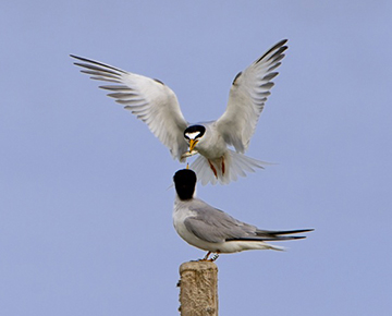 Little terns nesting in the Salt of the earth atlit site